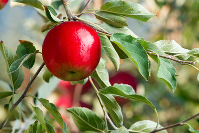 Rave® Apples: This early harvest apple has everyone talking.
