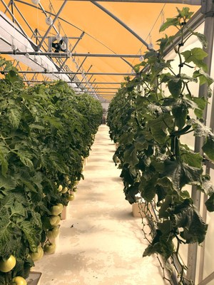 Growing Opportunities is hosting UbiQD's first commercial greenhouse pilot project in Alcalde, New Mexico. This false color photo shows the Dutch-style greenhouse where UbiGro™ Film is boosting the weight yield of tomatoes.