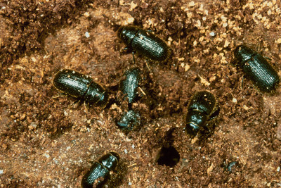 Adult spruce beetles 