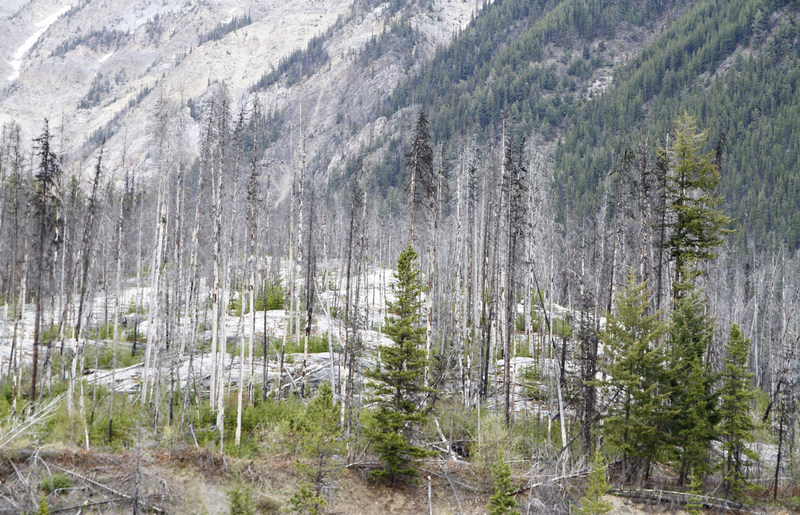 Pine beetle ravaged forest (CNW Group/Genome British Columbia)