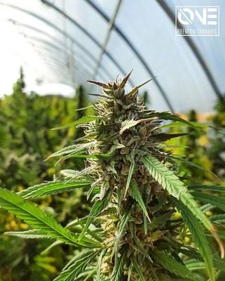 ONE Premium Cannabis, a division of Viridi Unit (CNW Group/LGC Capital Ltd)