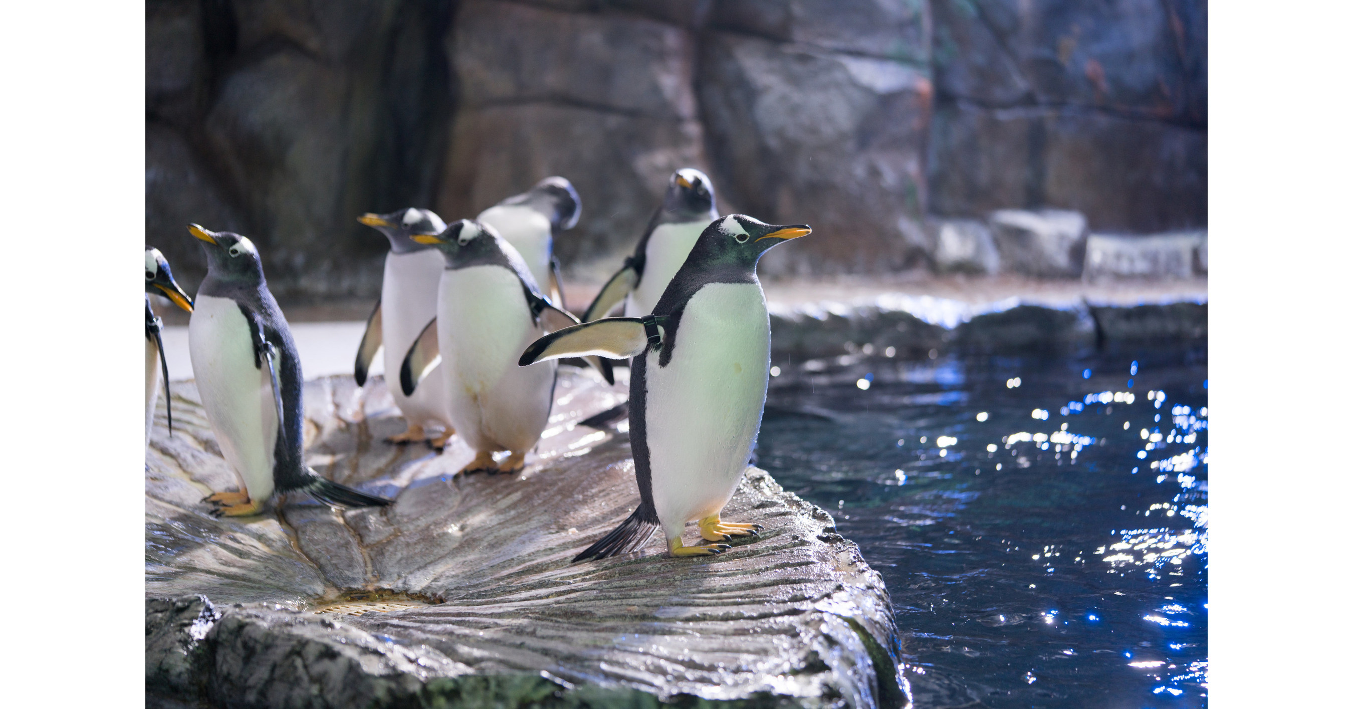 Loveland Living Planet Aquarium Penguins Focus of First ...