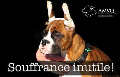 Au Québec, il y a encore trop de chiens avec les oreilles coupées! (Groupe CNW/Association des médecins vétérinaires du Québec)