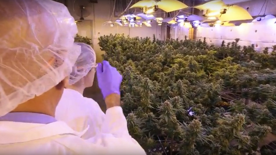 Little Green Pharma's second crop at their facility south of Perth in Western Australia before harvest. (CNW Group/LGC Capital Ltd)