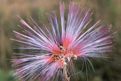Calliandra dysantha, symbol of the Brazilian savanna_credit Scott Warren-TNC