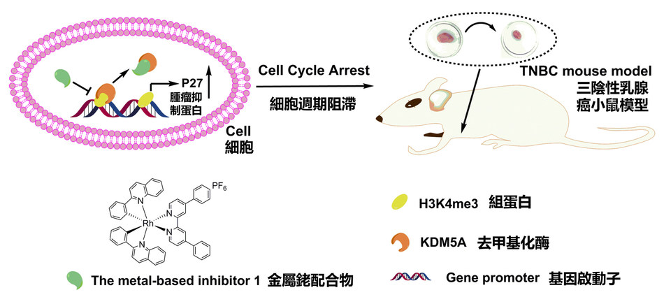 The diagram shows the use of the new inhibitor for the treatment of triple-negative breast cancer (PRNewsfoto/Hong Kong Baptist University)