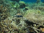 Reef Futures Looking Up!  Large Scale Coral Reef Restoration is Possible