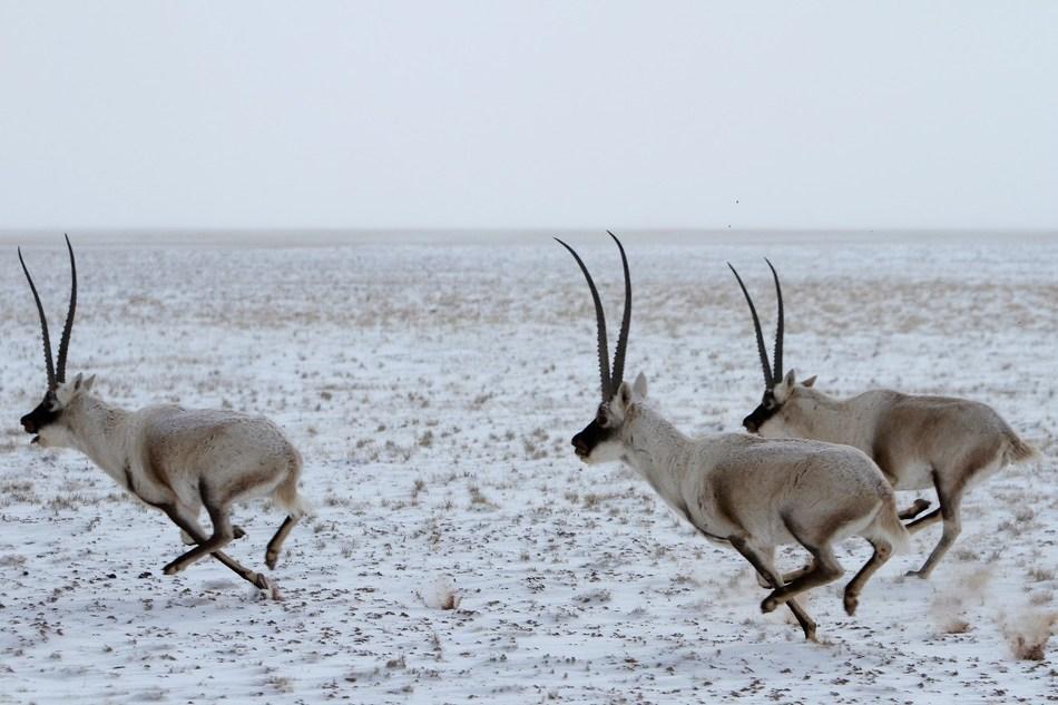 The Tibetan antelope in the Hoh Xil