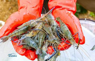Enzootic, an animal biotechnology and genetics company leading the all-female shrimp revolution, and NRGene, the world's leading provider of genomic big data analysis, have completed the sequencing and assembly of the world's first high-quality genome of freshwater shrimp.