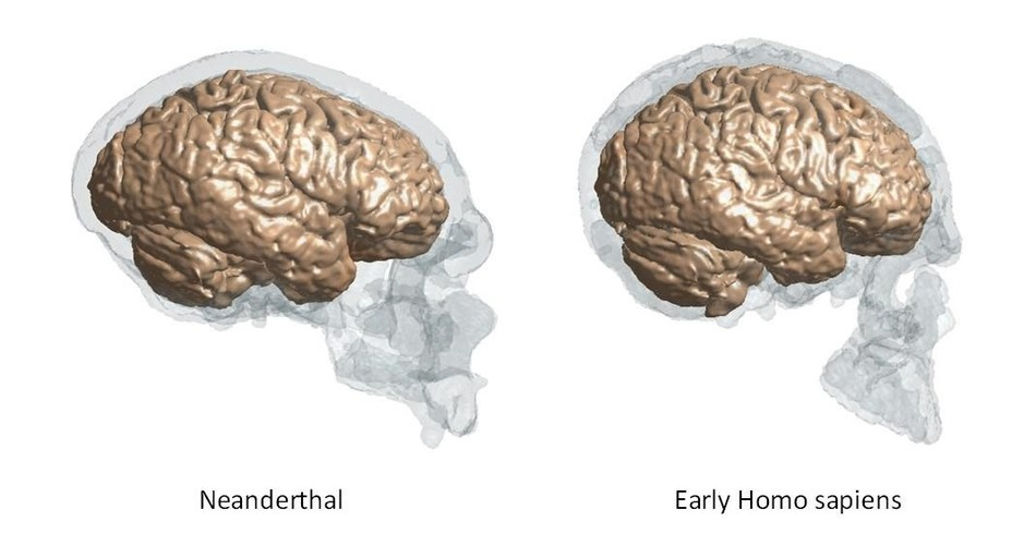 Reconstructed brains of Neanderthals based on fossil skulls compared with those of early Homo sapiens. ©Keio University (PRNewsfoto/Keio University)