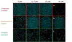 Fig.1 – CN16D3 – a Cannabis compound (C) kills cancer cells more effectively than chemotherapeutic drugs (A,B) in our preclinical study.