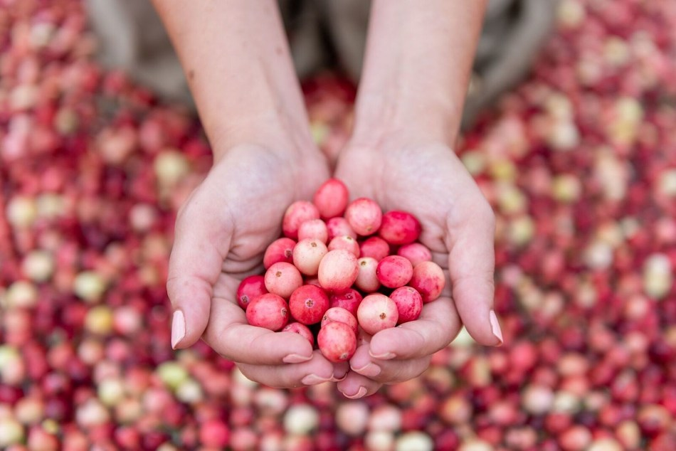 On September 13, 2018, Ocean Spray® Cranberries, Inc. kicked off the 2018 cranberry harvest season with a passion for pink - PINK CRANBERRIES, that is!  This first-ever pink cranberry harvest was created in support of breast cancer awareness and the cooperative's new partnership with the National Breast Cancer Foundation, Inc.®