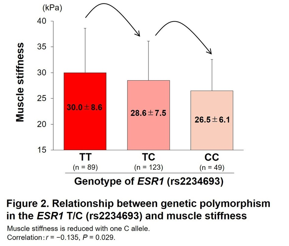 Relationship between genetic polymorphism in the ESR1 T/C (rs223493) and muscle stiffness (PRNewsfoto/Juntendo University)