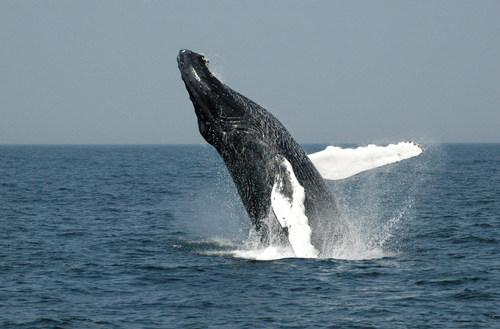 A humpback whale breaching. Photo: World Animal Protection. (CNW Group/World Animal Protection)