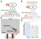 University of Electro-Communications eBulletin: Elucidating Mechanisms of Voluntary Control of Human Multi-muscle