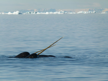 Narwhal spotted at the floe edge; Photo Credit: Dave Briggs (CNW Group/Royal Canadian Geographical Society)