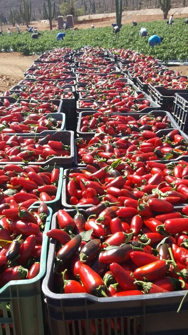Arenoso harvest in-progress on September 26, 2018