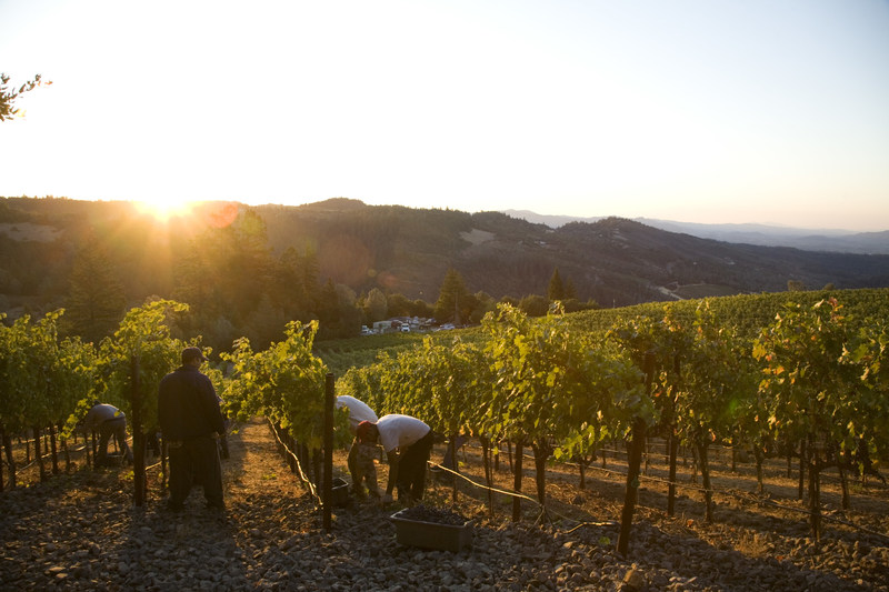 Early morning harvest in Napa Valley. Photo by Jason Tinacci for the Napa Valley Vintners.