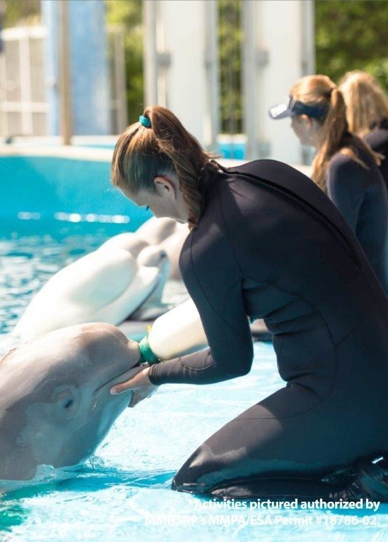 Katie Kolodziej, animal care specialist at SeaWorld San Antonio, bottle feeds rescued Cook Inlet, Alaska, beluga calf Tyonek. Tyonek has also begun eating fish like herring and capelin as supplements to his daily bottle feedings. Photo by SeaWorld Parks & Entertainment