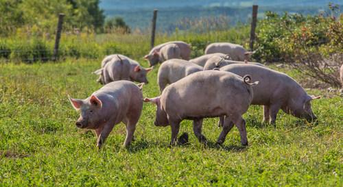 Pigs enjoying a crate-free environment on a certified organic duBreton farm (CNW Group/duBreton)