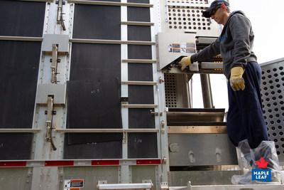 Conducteur de camion qui utilise un camion à remorque dont les planchers à vérins hydrauliques en font un système de transport qui réduit considérablement le stress et le potentiel de blessures chez les animaux. (Groupe CNW/Les Aliments Maple Leaf Inc.)