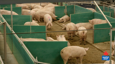 Maple Leaf Foods has converted more than 40,000 sows, or over 50% of its herd, to its advanced open sow housing system (CNW Group/Maple Leaf Foods Inc.)