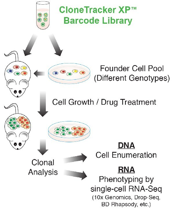 CloneTracker XP Expressed Barcode Library - Workflow for Single-Cell Genetic Analysis