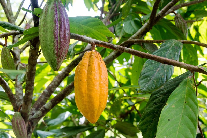 The cacao tree