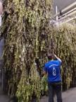 Harvesting of 20,000 cannabis plants is underway at LGC Capital's Swiss partner, Viridi Unit's Geneva growing facility