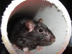 Four-Peat: Chicago Tops Orkin's Top 50 Rattiest Cities List for Fourth Consecutive Time