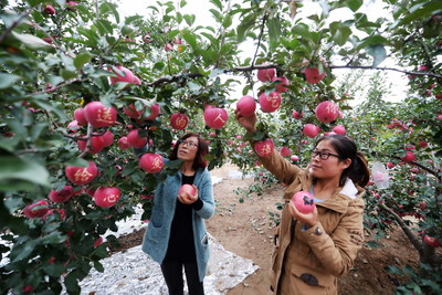 Two girls are picking up apples with Chinese character shade etches in a local orchard in Pingliang in the harvest season of autumn.