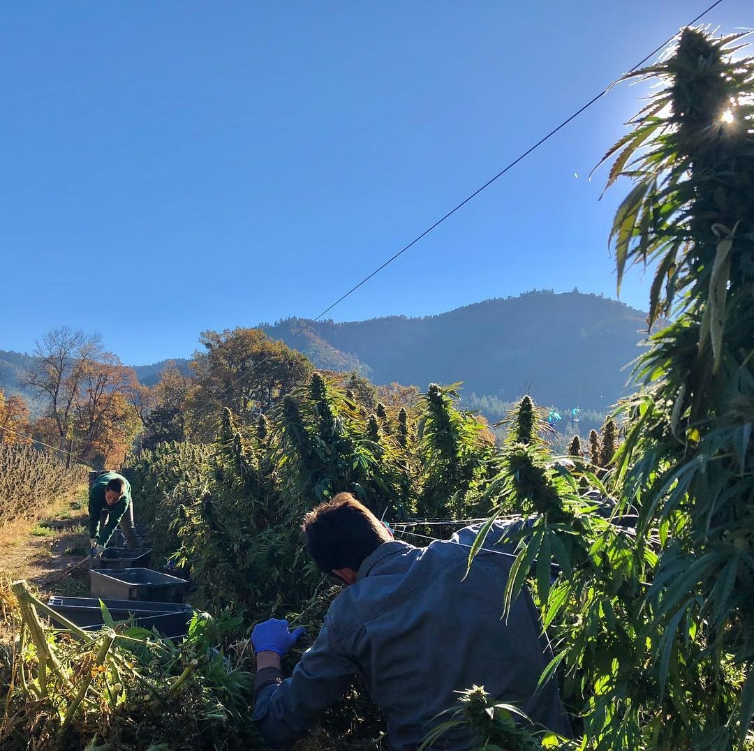 Our Hemp Farmers working in the field