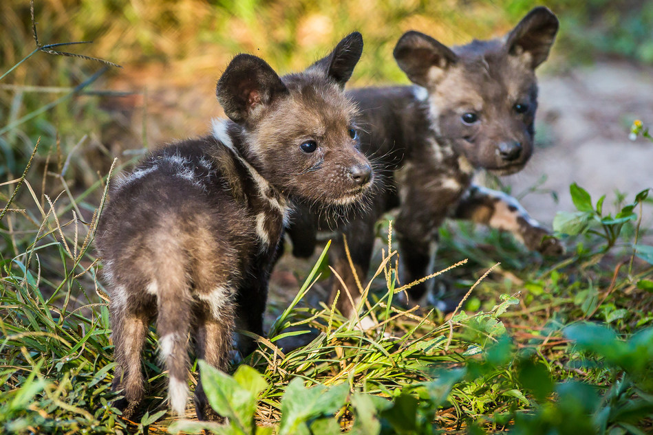 ZooTampa at Lowry Park is celebrating the births of seven rare African painted dog pups. The multi-colored pups are the first of this endangered African species to be born at the Zoo.