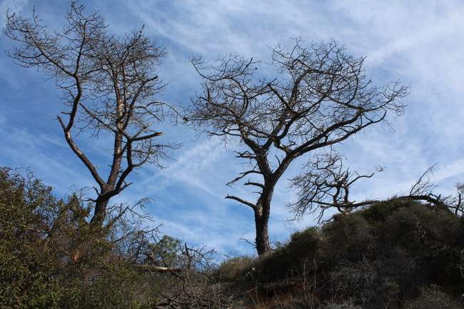 Dead Torrey Pines against a toxic geoengineered sky which figured in their demise and in the demise of countless conifers in California exacerbating wildfire proclivity.