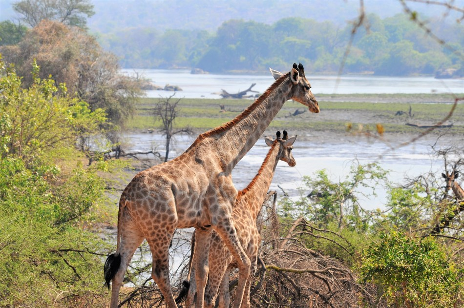Giraffe in Majete Wildlife Reserve, Malawi © African Parks (PRNewsfoto/African Parks)