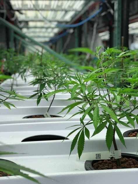 Radicle and Gage products are locally harvested in Hamilton, Ontario, and grown through hydroponics – a cleaner and more natural process of growing that allows for the nutrients to be fed directly to the plant from the root. (CNW Group/Radical Medical Marijuana Inc.)
