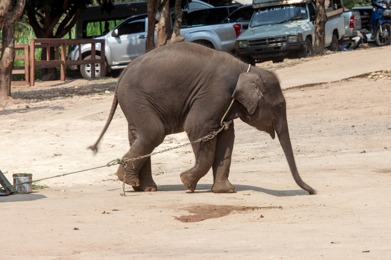 Baby elephant tied up, waiting to entertain tourists at a venue in Thailand. After brutal training as youngsters, elephants like this one spend their lives forced into unnatural interactions with tourists. Photo: World Animal Protection / Saranya Chalermchai (CNW Group/World Animal Protection)