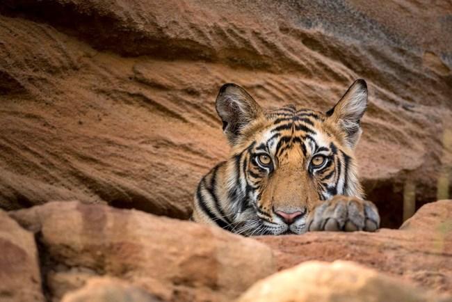 BBC Dynasties, Tiger in Bandhavgarh National Park, Courtesy BBC