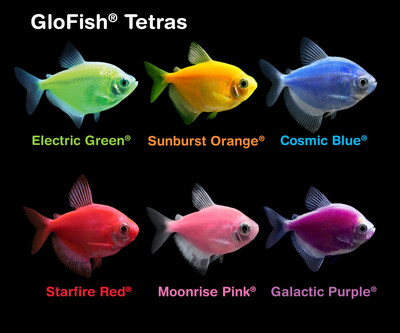 All six colors of fluorescent GloFish® Tetras — Starfire Red®, Cosmic Blue®, Electric Green®, Galactic Purple®, Sunburst Orange® and Moonrise Pink® — will now be available in Canada for consumers to experience vividly colored aquatic environments.