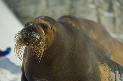 La femelle morse Arnaliaq est gestante et pourrait donner naissance dès le printemps à son deuxième bébé en trois ans. Une situation tout à fait exceptionnelle dans une institution zoologique. (Groupe CNW/Société des établissements de plein air du Québec)