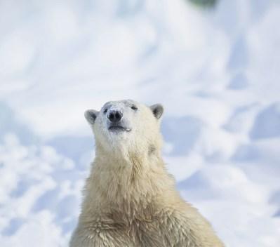 Pendant les travaux d'agrandissement de leur habitat, les ours blancs Eddy (photo) et Taïga seront hébergés au Cochrane Polar Bear Habitat, en Ontario. (Groupe CNW/Société des établissements de plein air du Québec)