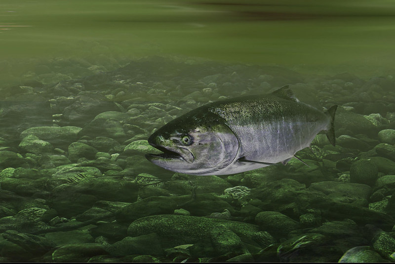 Chinook Salmon © Stuart Clarke (CNW Group/Committee on the Status of Endangered Wildlife in Canada)