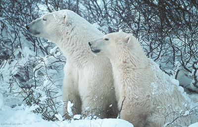 Ours blanc © Gordon Court (Groupe CNW/Comité sur la situation des espèces en péril au Canada)