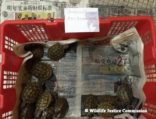 Three-striped roofed turtles Batagur dhongoka offered to WJC investigators during Operation Dragon. The three-striped turtle was one of the most valuable species offered to the WJC investigators in the development of the Operation. It is critically endangered in Bangladesh, currently listed as CITES Appendix II.