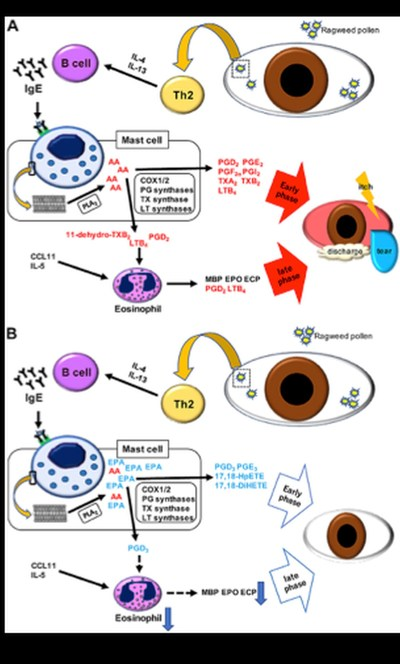 Suppression mechanism of allergic conjunctivitis by an omega-3 fatty-acid diet in mice exposed to ragweed pollen. Mice on a diet A) without and B) with omega-3 fatty acids (PRNewsfoto/Juntendo University)