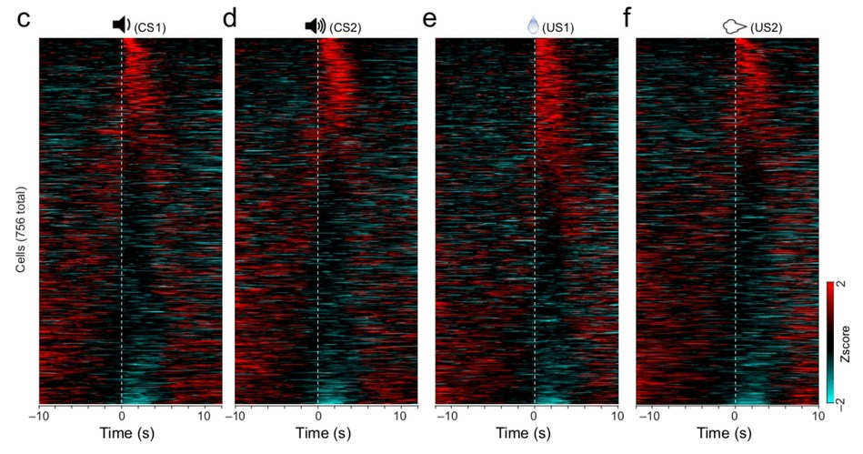 These heatmaps show activity in 756 neurons found in the BLA region of a mouse brain. Spikes in excitement (red) represent responses over time to neutral sounds (c & d), a water reward (e), or a startling puff of air. Maps like these also show how the brain inhibits (blue) an undesired reaction. Black represents moments of non-responsiveness.