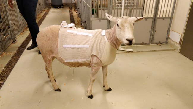 """Toy"" the sheep - recipient of fully implanted heart assist (LVAD) from Leviticus Cardio and Jarvikheart"