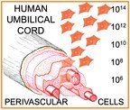 Human umbilical cord perivascular cells (PRNewsfoto/Tissue Regeneration Therapeutic)