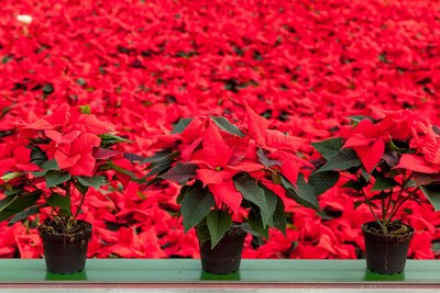 Stars for Europe (SfE):  National Poinsettia Day - 12 December -  Celebrating the Nation's Favourite Christmas Houseplant