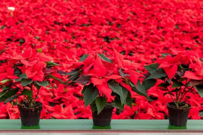 Stars for Europe (SfE):  National Poinsettia Day - 12 December -  Celebrating the Nation's Favourite Christmas Houseplant